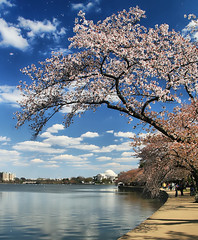 Blossoms over Washington (` Toshio ') Tags: pink flowers green nature grass japan clouds cherry japanese washingtondc dc washington spring districtofcolumbia natural blossoms sidewalk bloom cherryblossoms hdr jeffersonmemorial blooming tidalbasin cherryblossomfestival toshio mywinners abigfave highdynamicresolution superaplus aplusphoto platinumheartaward