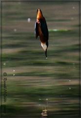 A Split Second Away  -1- (Russ Cribb) Tags: uk blue wild orange white fish bird nature beautiful closeup river bath wildlife south dive halcyon gloucestershire kingfisher british colourful avon 2009 alcedoatthis alcedo springwatch atthis alcedinidae swineford russcribb bs306lw