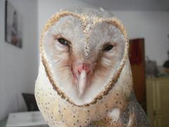 . . .Lokkhi pecha /...Barn Owl. -1 (mskarim ) Tags: birds dhaka bangladesh barnowl bashirbd mskarim