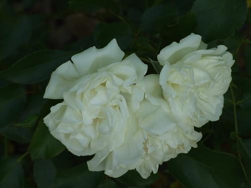 fiori 062