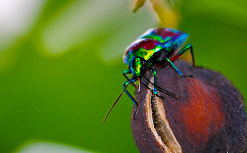 Metallic Shield Bug