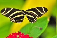 DSC_5399 209c     4.6k (ChanHawkins) Tags: calgary sign butterfly zoo insects zebra calgaryzoo zebralongwingbutterfly longwing pa4