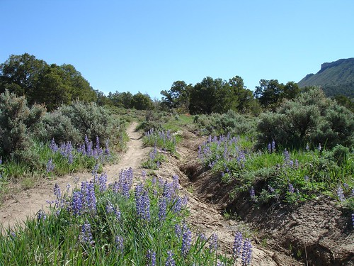 bluebonnet in Horse Gulch meadow