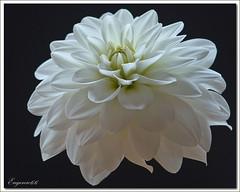 Dalia bianca