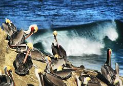 Pelican Perch in California (` Toshio ') Tags: ocean california blue motion bird birds surf pacific sandiego action cove crowd group beak feathers wave lajolla pelican pacificocean curl southerncalifornia lajollacove toshio