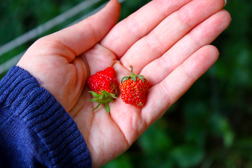 Strawberry Patch Harvest