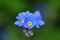 Çiçekli mikrofon / Flowers microphone (Atakan Eser) Tags: spring bahar çiçek ilkbahar ngbb nezahatgökyiğitbotanikbahçesi dsc1421