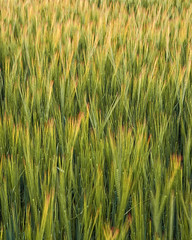 VVV (mcb photography) Tags: summer field barley evening wheat harvest crop ripe ripen mikebarber