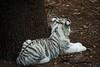 Baby White Tiger (bobdole369) Tags: tampa zoo tiger whitetiger pantheratigris lowryparkzoo babywhitetiger