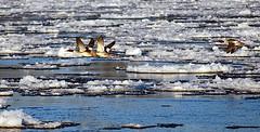 low-level mission (Christian Northe) Tags: elbe weinberg niedersachsen lowersaxony hitzacker icedrift