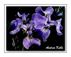 Irises (Andrea Kollo Photography) Tags: flowers flower color nature colors gardens garden flora gardentour gardentours colorfulflowers naturephoto flowerphotography kingtownship colourfulflower flickersawesomeblossoms andreakollo springhillphotography