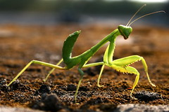 mantis ....... Explored (rakesh chandra) Tags: india bug mantis insects bugs explore explored canonefs1855mmf3556ii beautifulbug canon400d canondigitalrebelxti rakeshchandra smallcreatureswilllovethisplace