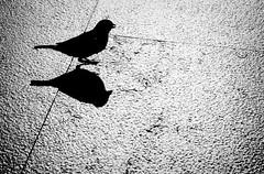 Pardal (Ron Isarin impressions) Tags: shadow blackandwhite bw bird birds blackwhite sparrow mus housesparrow pardal blackdiamond huismus 123bw worldofanimals neroamet ronisarin
