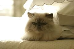 2009_01_21 18287 Basking (Peter Sealy Art & Photography) Tags: cat himalayan bluepoint