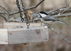 Backyard Chickadee (jakesangel) Tags: winter bird tennessee gray feeder chickadee blackheaded backyardshot