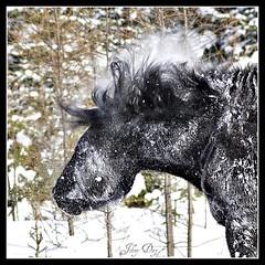AaaAAaaAatchOOooOOooooOooo !! (Johny Day) Tags: winter horse caballo cheval bravo arctic tornade supershot mywinners abigfave johnyday anawesomeshot explore2009 clubequestrechanteclerccom