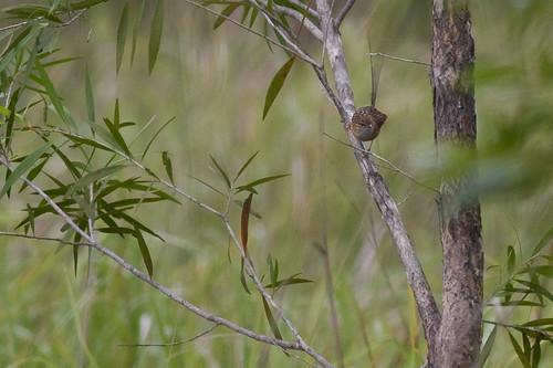 southern emu-wren