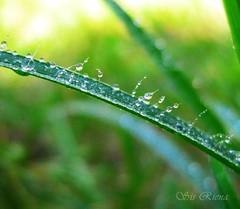 Good day! (Azriena Jaffar (On Off)) Tags: green grass sunrise wednesday droplets thursday ilovegreen hbw