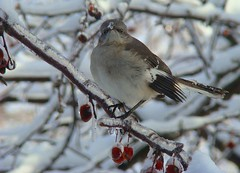 Icy mockingbird