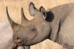 Black Rhino Close-Up (Wild Dogger (thx for + 2 MIO views)) Tags: africa trave
