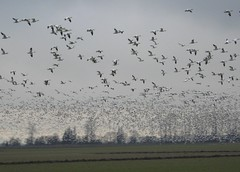 IMG_5018 (roswellsgirl) Tags: snowgeese
