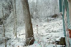 Large Sycamore Tree (junebug_1944) Tags: icestorm eurekaspringsar january2009