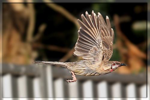 Red Wattlebird in flight by paddyo42.