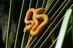 Eyelash Palm Viper