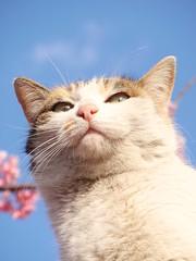 Sakura cat (Pink nose) (tanakawho) Tags: pink blue sky cloud white flower tree nature animal cat cherry temple dof blossom bokeh small whiskers ear calico tricolor creature lant tanakawho sakuracat