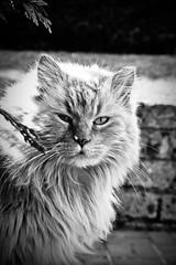 Gastone (Damiano ***) Tags: bw animal cat canon eos gatto bianco nero animale biancoenero gastone 400d custoza