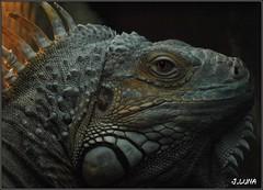 iguana (J.Luna) Tags: animal iguana reptil terrareo