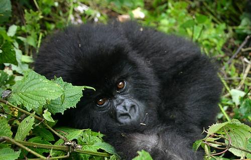 Africa Rwanda Baby Gorilla by Gloria Garrett available at gloriousjourneyphotography.net