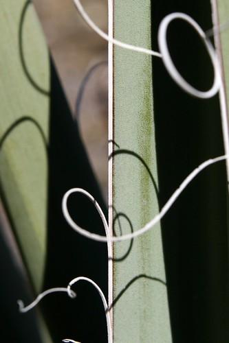 leaf-edge