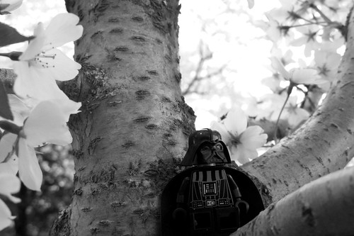 mini darth in a cherry tree 4.5.09 - 13