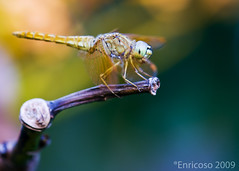 Dragonfly (mel.enrico) Tags: thechallengefactory micarttttworldphotographyawards micartttt