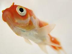 Norouz spirit! (M@@n) Tags: fish macro goldfish iran pentax newyear mazandaran  norouz  babolsar flickrsbest   k100d platinumheartaward