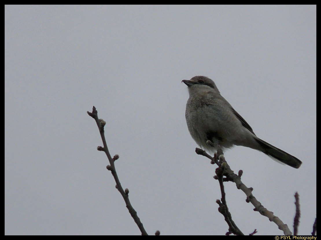 Northern Shrike (Lanius excubitor)