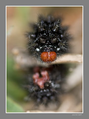Oruga fortaleza (melitaea cinxia).2 (Juliovet) Tags: macro oruga macrofotografa sigma105mm nikond80 macrolife juliovet