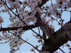 "Apricot  ""Prunus armeniaca"" 2003-04-02 023 Home-Spring-Apricot-Forsythia (Badger 23 / jezevec) Tags: 2003 trees flower tree fleur forest log timber flor boom april apricot   blume fiore albero arbre strom baum puno 20030402 prunus bloem cais  koks   albaricoque drzewo aprikose  albicocca   jezevec  mti abricot abrikoos kvt aprikos arbore vbr      aprikoosi   prunusarmeniaca   wabigon  alperce  parmeniaca badger23  abrikosas trd aprikozes  tr rvore rbol"