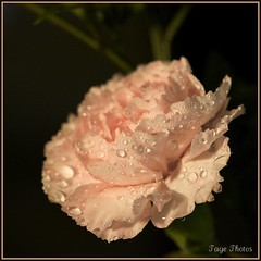 A Pink Carnation! (iTail ~ Steve Page) Tags: fab flower love beauty happy sad bokeh petal droplet teardrop waterdroplets soe excellence meaningful itail supershot fantasticflower abigfave platinumphoto aplusphoto thatsclassy goldstaraward rubyphotographer 100commentgroup vosplusbellesphotos