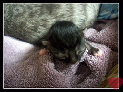 Bebe (OpticalGlee) Tags: new sleeping baby cute cat born kitten feline young kitty newborn