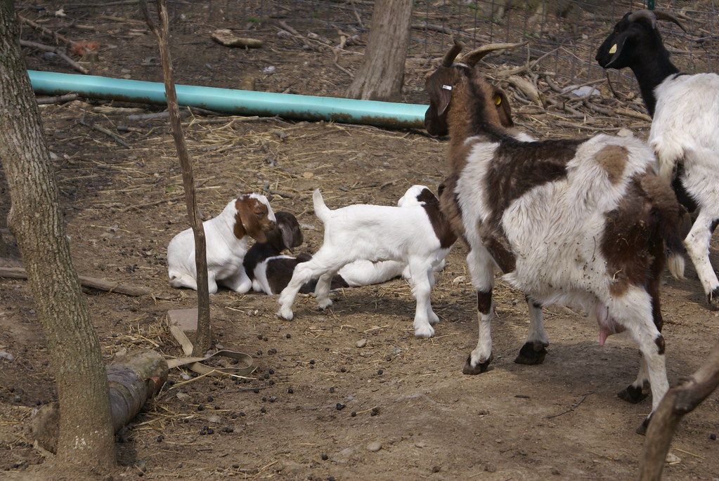 Dozens of baby goats  kids  jumping yelling and playing