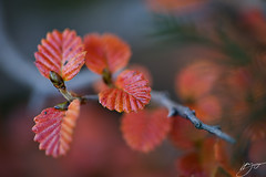 Autumn fagus (hillsee) Tags: nature leaves tasmania fagus nothofagus mtfieldnationalpark mywinners aplusphoto nothofagusgunii