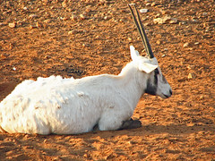 Biblical Ram