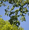 Canopy - Weeping Wych Elm (Dominic's pics) Tags: blue sun sunlight green nature leaves gardens spring estate blossom royal prince bluesky seeds bloom pavilion lit sunlit elm weeping regents elms glabra fecund ulmus wych ulmusglabra copious horizontalis blossomlike ulmusglabrahorizontalis weepingwychelm weepingwych