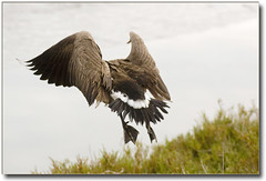 GERONIMOOooooo........ (Romair) Tags: bird nature nikon d70 wildlife goose wetlands marsh canadiangoose birdwatcher flyingbird instantfave marincountyca onlythebestare marinij cortemaderacamarsh
