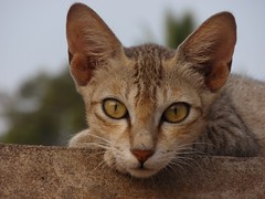 PC180140 (Ratnakar2.) Tags: cat olympus looks catlooks catnipaddicts