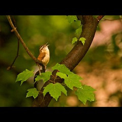 The Singer (bahketni) Tags: bird rain raw song singer tuesday wren carolinawren mostviewed housewren not100ontheid