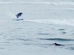 Chop-Hop (Bryce Bradford) Tags: california wild flower macro beach lens pier jumping san waves glow pacific bokeh dolphin circles diego olympus surfing highlights oceanside reverse zuiko bottlenose fallbrook e500 40150mm f3545