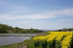 水田と菜の花畑